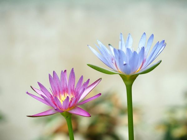 Flowers Plant Nature Beauty In Nature Close-up Twin Lotus Lotus Flower Purple Purple Lotus Purple And Pink Lotus Two Lotus Flower Head Trees Plant