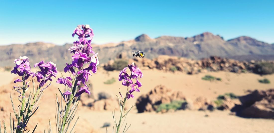 Teide Bee Bumblebee Flower Head Flower Tree Rural Scene Beauty Summer Springtime Clear Sky Uncultivated Sunset Flowering Plant Poppy Blooming Lilac In Bloom Plant Life