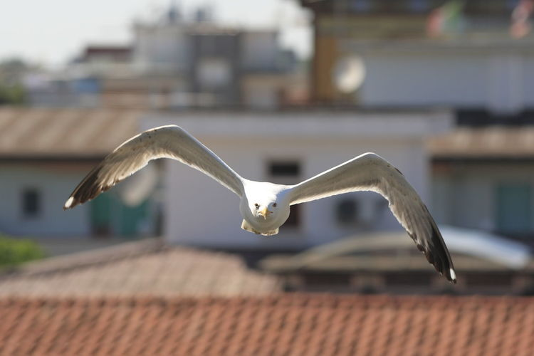 Seagull flying over roof