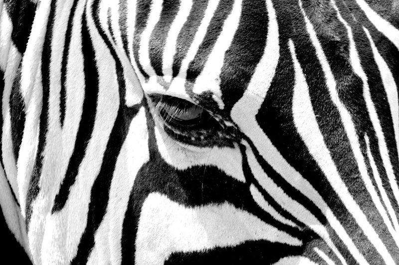 Detail shot of a zebra