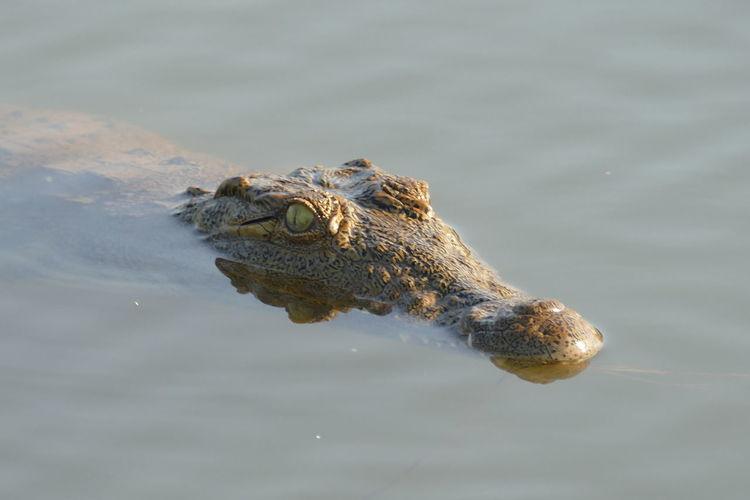 High angle view of crocodile swimming in lake