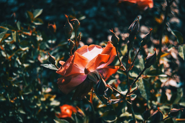 Close-up of orange rose on plant
