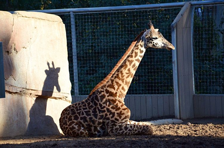Animal Themes Beauty In Nature Day Giraffe Long Day No People Relaxing Rest Shadow Silhouette Sunlight Taking It Easy Zoo