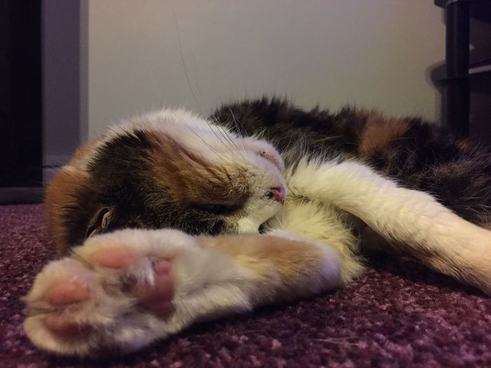 Always Be Cozy Cat Cozy Cat Sleeping Cat Tortoiseshell Calico Cat