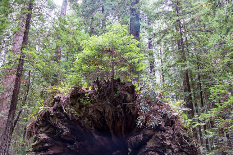 Tree growing out of the roots of a fallen tree in Humboldt Redwoods State Park in California California USA America Redwoods Redwood Redwood Trees Redwood Forest Travel Travel Destination Tourism Plant Nature Day Outdoors Landscape Humboldt Redwoods State Park Forest Tree Growth Land WoodLand Tree Trunk Trunk Beauty In Nature Scenics - Nature Tranquility Green Color Non-urban Scene Tranquil Scene No People Environment Foliage Bark Pine Tree Rainforest Pine Woodland