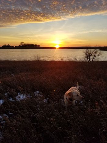 Sunset Dog Animal Themes Pets Nature Outdoors Beauty In Nature Landscape Horizon Over Water Labrador Retriever Autumn Hunting Mans Best Friend Dogs Of EyeEm South Dakota Yellow Labrador Yellow Lab Bird Dog Pheasant Agriculture Nature Animals In The Wild Retriever Mammal Farm