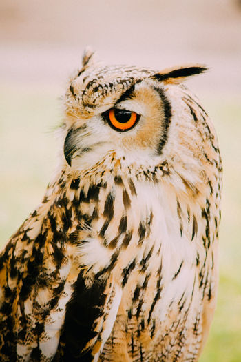 Close-Up Of Eurasian Eagle Owl Outdoors