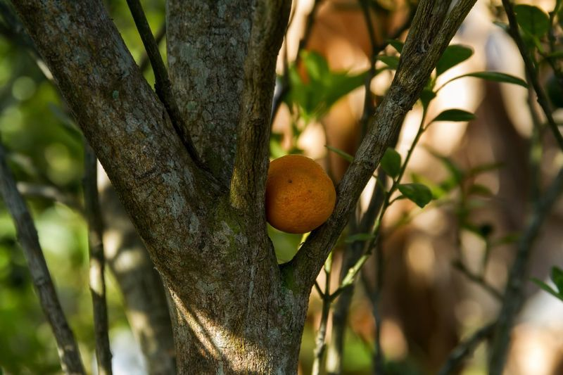 A ripe lime