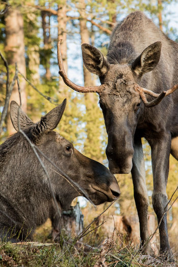 Male and female moose in forest