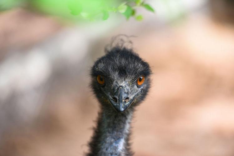 Close-up portrait of emu