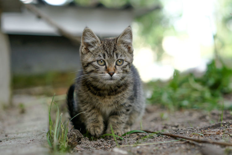 Portrait of tabby cat outdoors