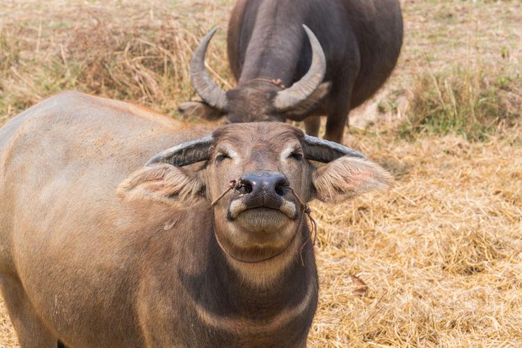 Animal Smile Animals Buffalo Farm Smilling Smilling Buffalo Water Buffalo
