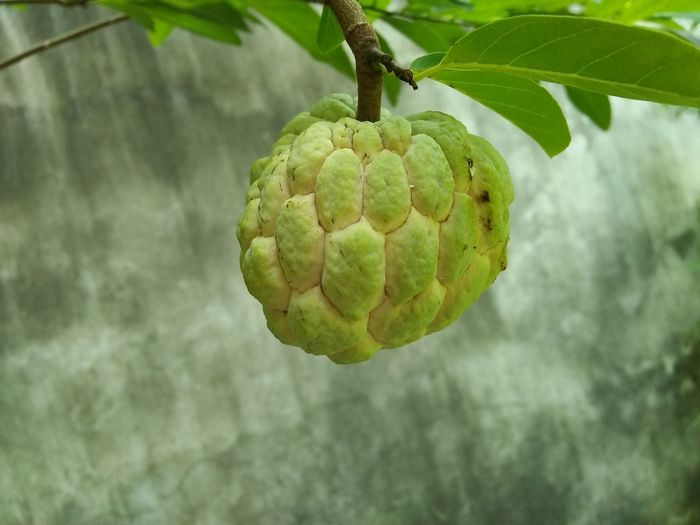 No People Close-up Food Nature Fruit Healthy Eating Outdoors Custard Apple Sugarappletree Sugar Apple Freshness Beauty In Nature Sweety  Sweetsop Tree Food And Drink