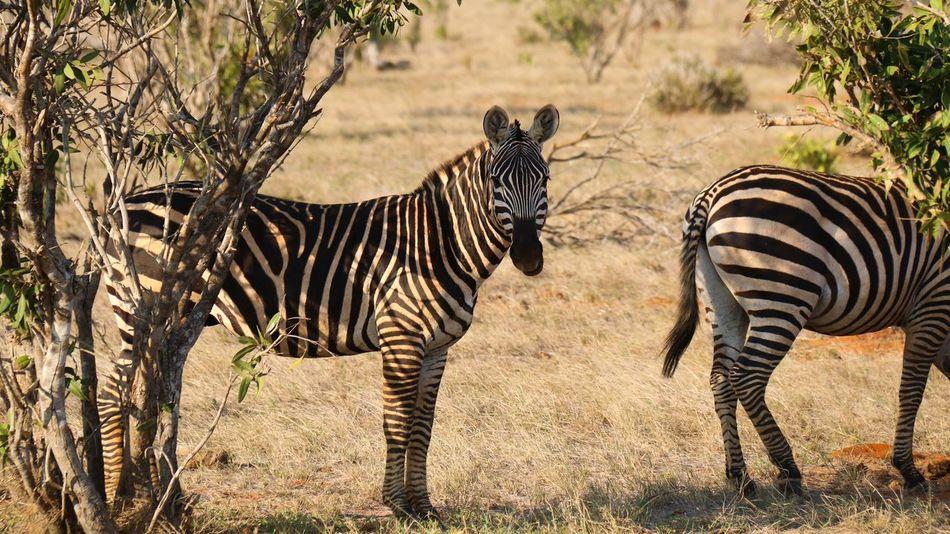 Impression from my Kenia Trip this Autumn Beat-fighter Kenia Animals Safari