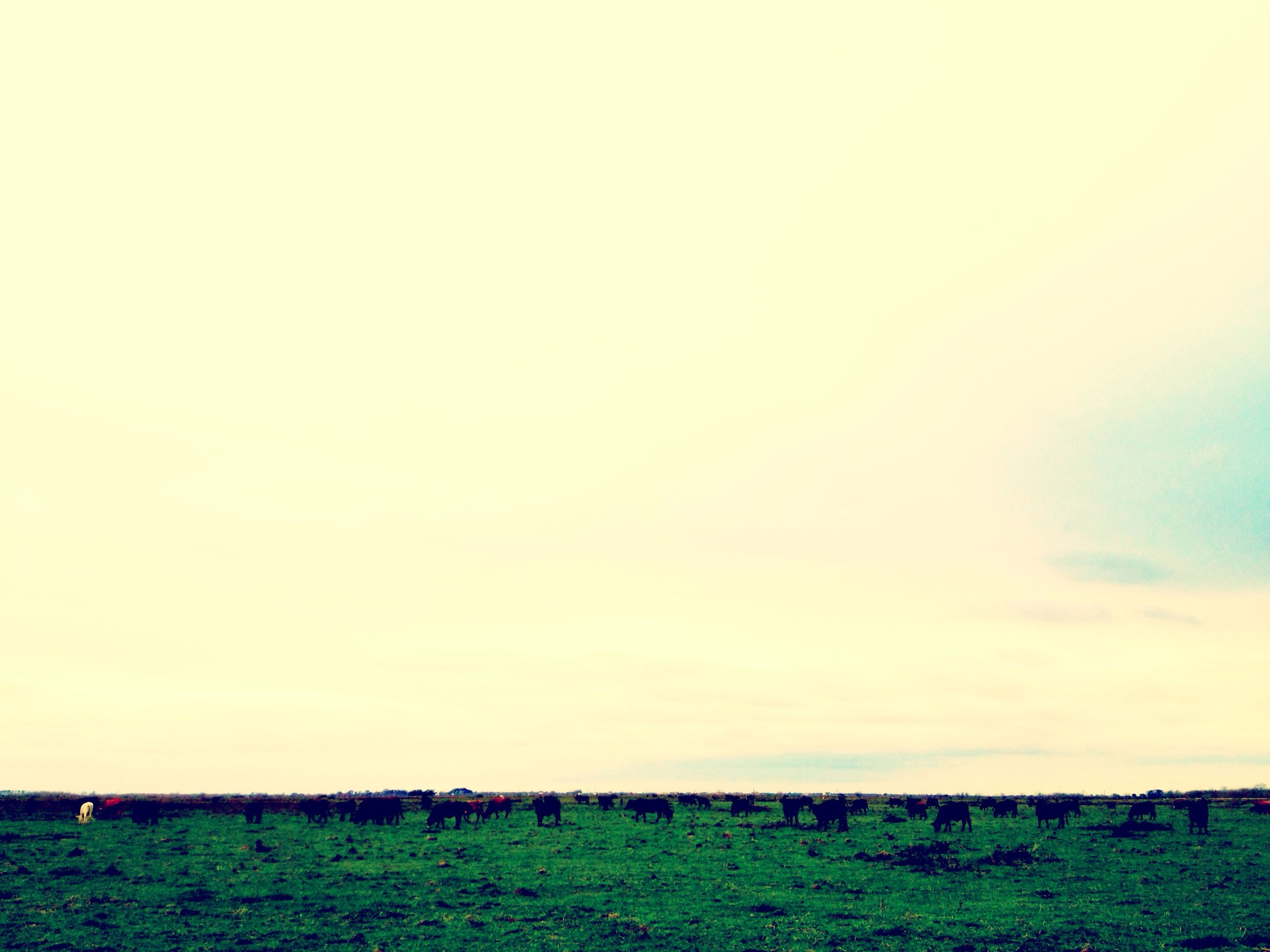field, grass, landscape, animal themes, rural scene, grassy, tranquil scene, copy space, tranquility, agriculture, grazing, nature, clear sky, domestic animals, horizon over land, beauty in nature, sky, farm, mammal, scenics