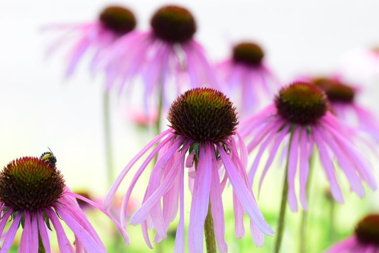Close-Up Of Eastern Purple Coneflower Blooming Outdoors
