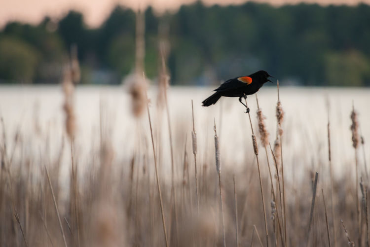 Red Winged Blackbird Balancing on a Cattail No People Beauty In Nature Animal Wildlife Close-up Red Winged Blackbird Blackbird Male Red Winged Bird Cattails Wildlife Marsh Nature Evening