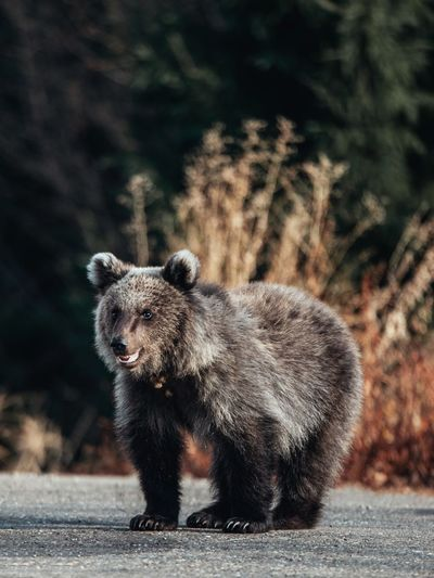 Bear walking on road
