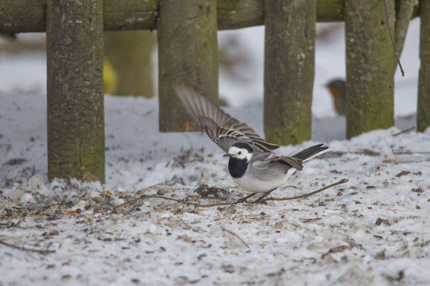 A wagtail runs freezing through the snow at a feeding place in the forest looking for food Animal Themes Animal Wildlife Animals In The Wild Bird Close-up Day Nature No People One Animal Outdoors Snow Spread Wings Winter