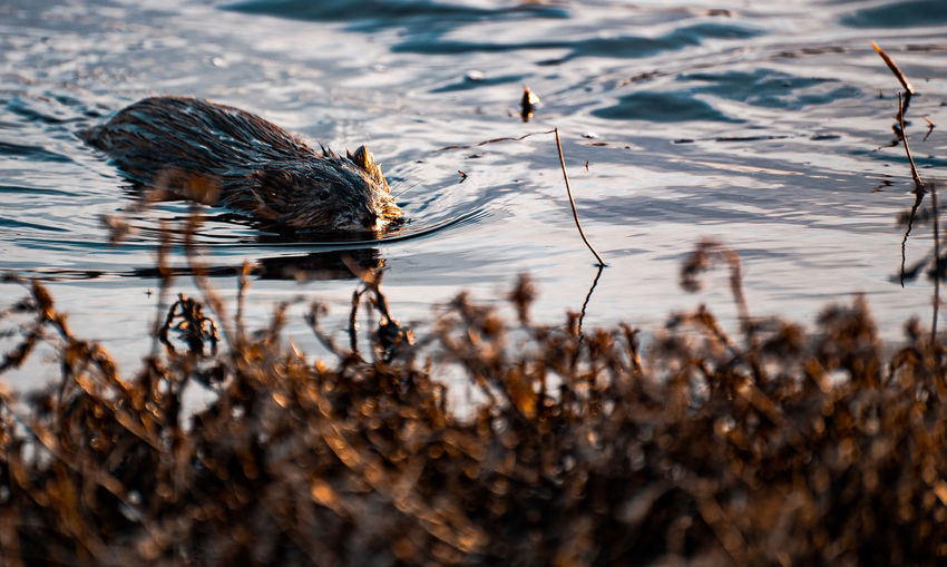 Beaver in cold water