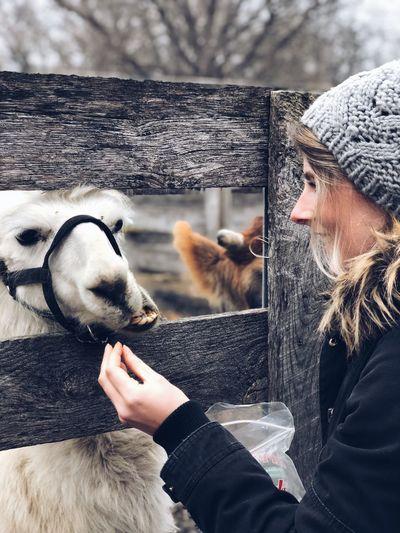 Smiling woman feeding llama during winter
