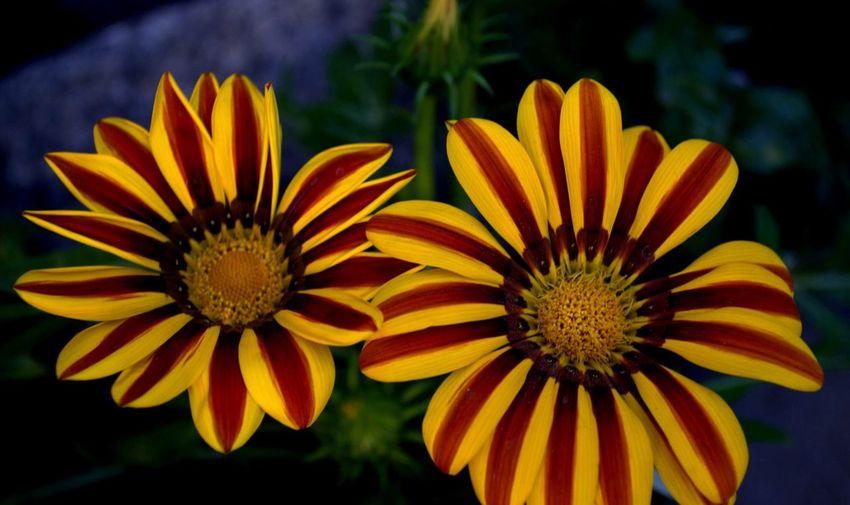 Twin petals