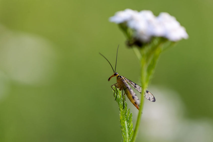 Invertebrate Insect Animal Wildlife Animals In The Wild Animal One Animal Animal Themes Plant Close-up Green Color Beauty In Nature Selective Focus Animal Wing Growth Focus On Foreground Nature Zoology Day Plant Part Scorpion Fly Perching Yarrow Summer Macro