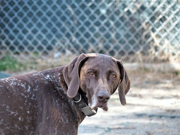 Miss Stella asking Animal Photography Dog Dogs Of EyeEm Dog❤ Eyes German Shorthaired Pointer Knowing Looking At Camera Thoughtful Wisdom Wondering