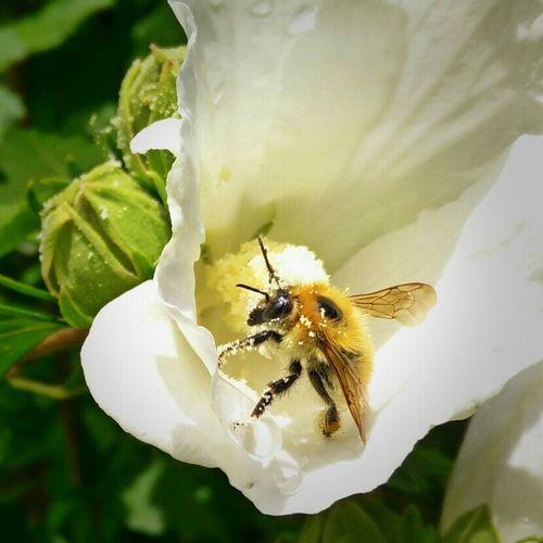 Bee Biene Pollen Flower Summer Sommer HoneyBee Honigbiene Working Hard