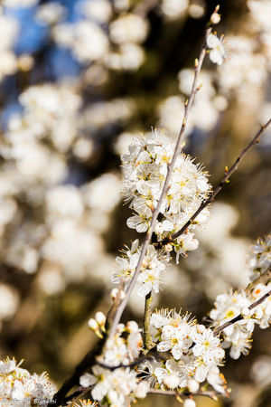 Beauty In Nature Biancospino Blossom Cherry Blossom Cherry Tree Fioriture Flower Flowering Plant Focus On Foreground Fragility Nature Spring Flowers Springtime