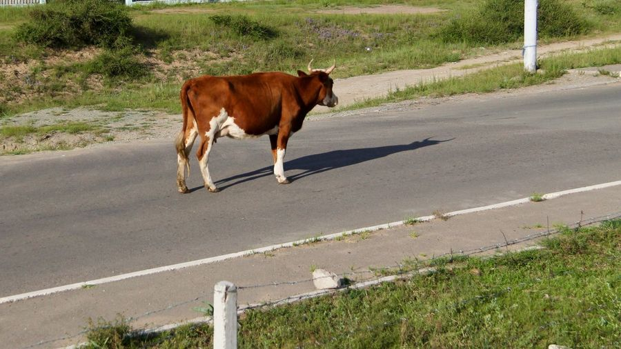 A different kind of peak hour No Traffic Standing Ground Motionless Out Of Place  Middle Of The Road Roadblock Roadside Cow Cattle EyeEm Selects Mammal Animal Themes Animal Domestic Animals Road Vertebrate Livestock Transportation Day One Animal Nature No People City Road Marking