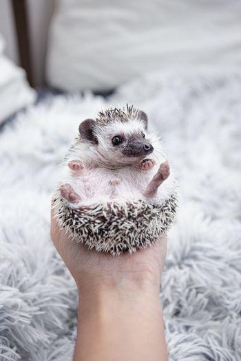 Close-up of hand holding hedgehog