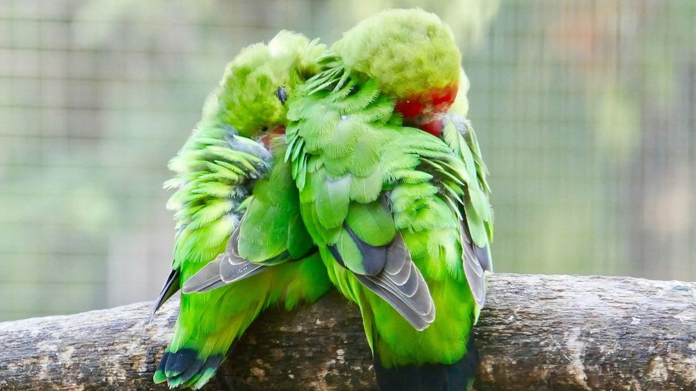 Two Parrots Togetherness Livestock Lovebirds Bird Animal Themes Animals In The Wild Animal Wildlife Perching Parrot Focus On Foreground One Animal Nature No People Green Color Close-up Day Outdoors Beauty In Nature Food Birds Of EyeEm  Parrots Of Eyeem Parrots Sleeping