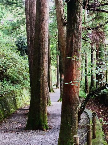 Tree Tree Trunk Trunk Plant Growth Nature Day No People Land Beauty In Nature Forest Outdoors Green Color Footpath Environment Non-urban Scene