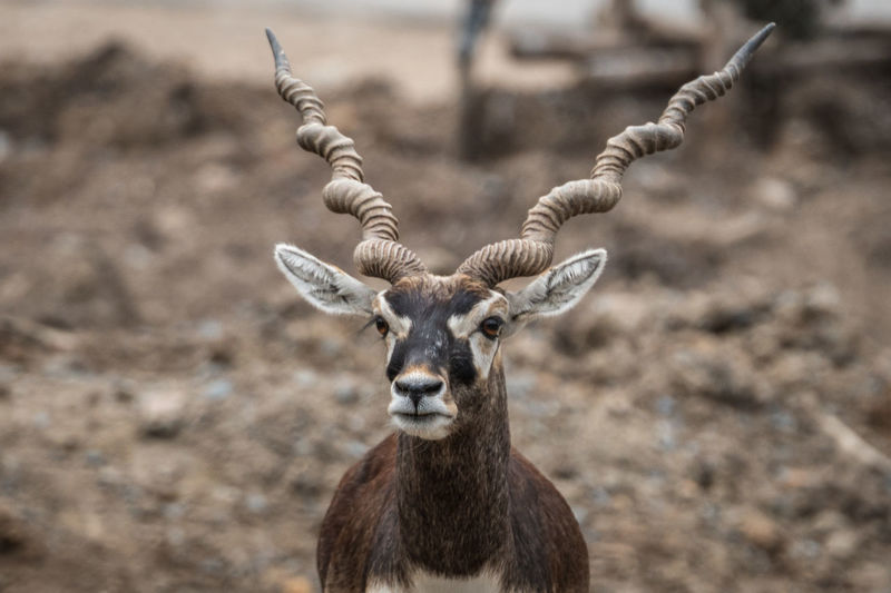 Close-up of giraffe on field