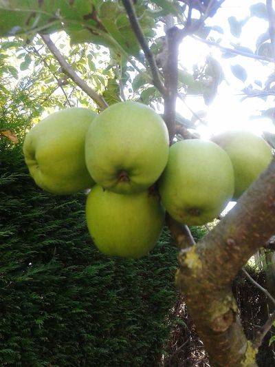 Apples in the garden Apple Fruit Tree Food And Drink Freshness Hanging Food Healthy Eating Growth Green Color Close-up Low Angle View Apple - Fruit Branch Day Nature Organic Growing No People Apple Tree Against Sun Against Sunlight Green Apples  Green Bright