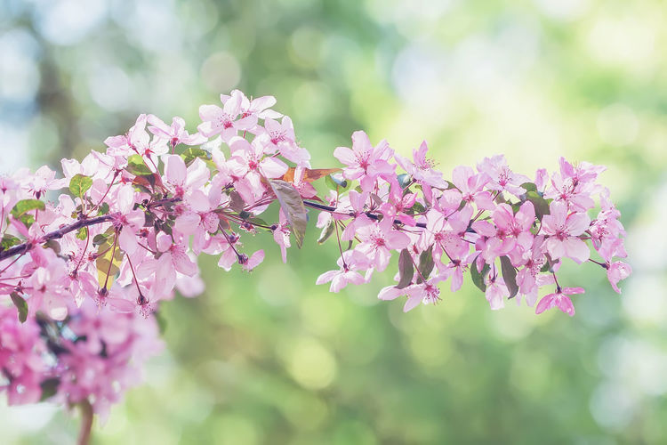 Branch of blooming spring tree, pink flowers. Vintage styled color. Abstract blurred toned background Cherry Blossom Happy Image Pink Sakura Soft Apple Blossom Background Beauty In Nature Bokeh Branch Close Close-up Delicate Flower Flowering Plant Freshness Pastel Petal Pink Color Plant Purple Sakura Blossom Spring Springtime