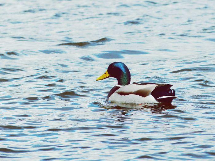 Ente Duck Wasser Elbe Schwimmen Water River Erpel