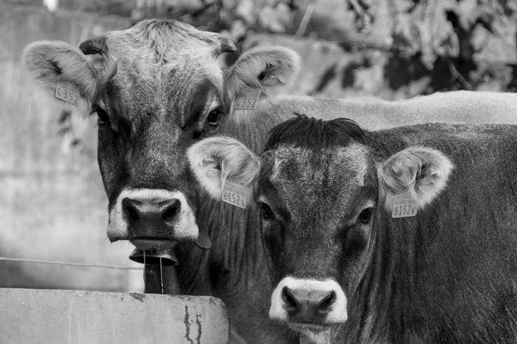 Close-up portrait of cows