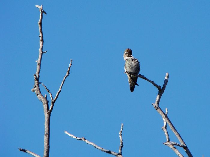 Low angle view of hummingbird grooming on branch against clear sky