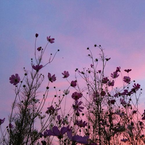 Pink Color Flower Blossom Tree Springtime Sunset No People Nature Beauty In Nature Flower Head Sky
