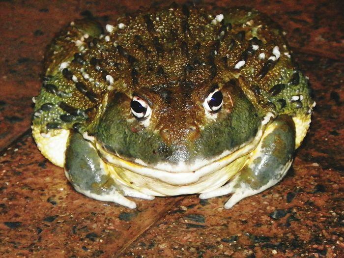 Africa South Africa Africanbullfrog Bullfrog Bullfrogs