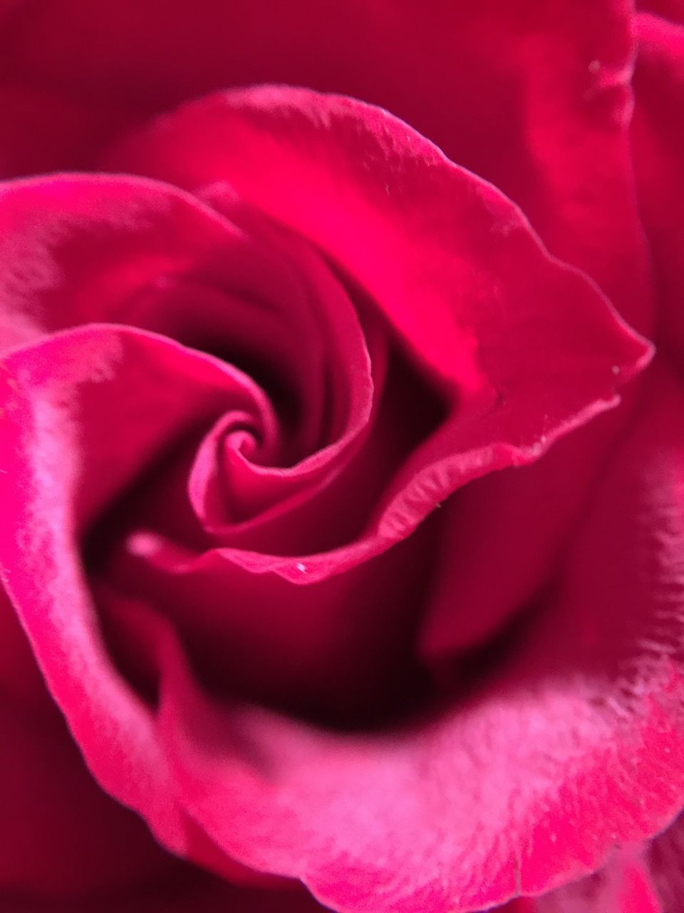 flower, petal, beauty in nature, nature, rose - flower, flower head, fragility, freshness, growth, plant, close-up, no people, softness, full frame, springtime, backgrounds, blooming, outdoors, day