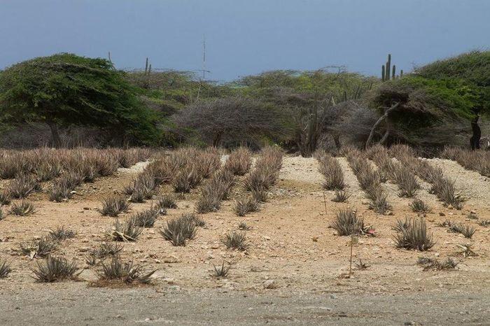 Best Vacation Aruba Relaxing Best Vacation Aloe Vera