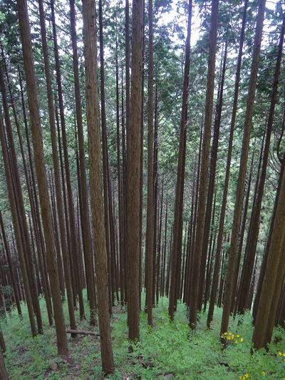 Abundance Bamboo - Plant Bamboo Grove Beauty In Nature Day Forest Growth Japan Landscape Mitakesan Nature No People Oume City Outdoors Scenics Tokyo Tranquil Scene Tranquility Tree Tree Trunk 御岳山