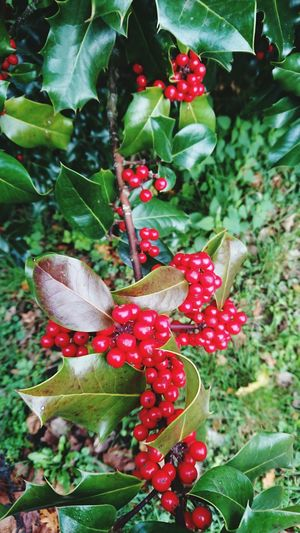 Houx Holly Arbuste Baie Rouge Fetedefindannee Christmas Decorations From My Point Of View