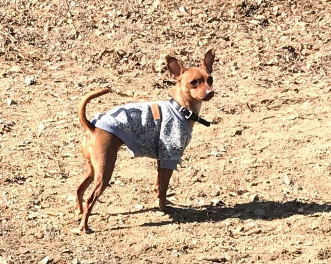 Mini Pincher Mini Pinscher One Animal Domestic Animals Domestic Pets Animal Themes Canine Animal Dog
