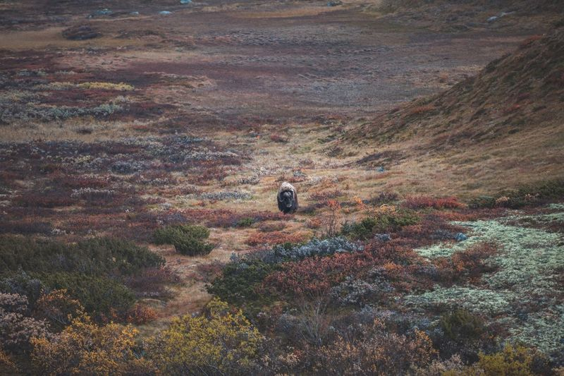 Hanging out at the Dovre Fjell is pretty exciting... musk ox can run over you at any time 😊 Nature Musk Ox Norway Dovrefjell Animal Wildlife Wild Exploring Nature Mountain Autumn One Animal Outdoors Adventure Landscape