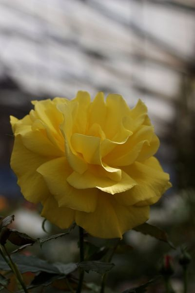 Yellow Rose Macro Clique
