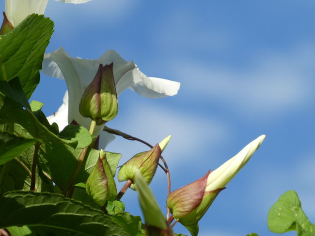 Flower Bindweed Leaf Fragility Freshness Plant Twiner Climbing Plant White Bud In Bloom Petal Selective Focus Botany Branch Blossom Close-up Beauty In Nature Sky